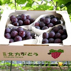 【今期終了】宮崎県産ぶどう「ピオーネ」 田口ファミリー果樹園