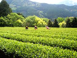 亀長茶園の茶畑