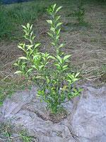 へべすの木の苗