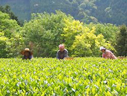亀長茶園茶摘み風景