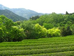 亀長茶園茶畑