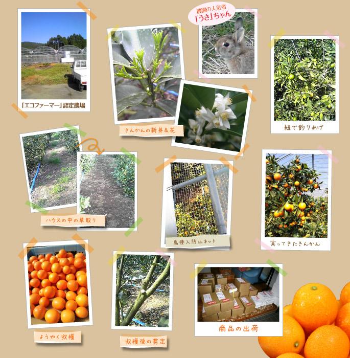 きんかんが出来るまで。農園の人気者「うさ」ちゃんが駆け回るエコファーマ認定を受けた金丸農園では、鳥防止ネットや草取り摘果などを行い最高のきんかんが出荷される