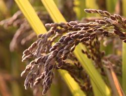 紫黒米の稲穂
