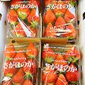 宮崎産新鮮いちご「さがほのか」 いちごの丘