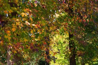 紅葉した楓の木