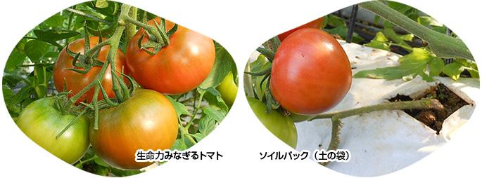 生命力みなぎるトマト